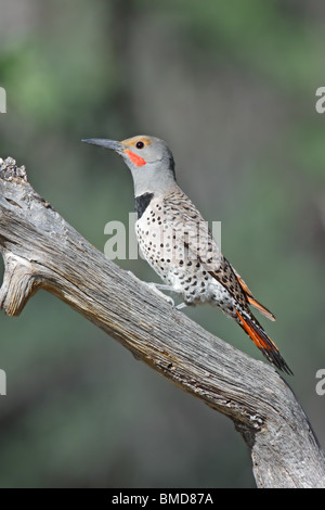 Northern Flicker  Adult Male - Stock Photo