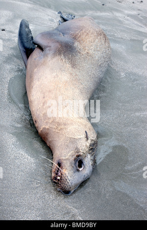 Immature Sea Lion 'yearling' deceased, beach. - Stock Photo
