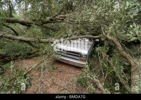 giant live oak tree splits in half and falls on house and auto Alachua Florida - Stock Photo