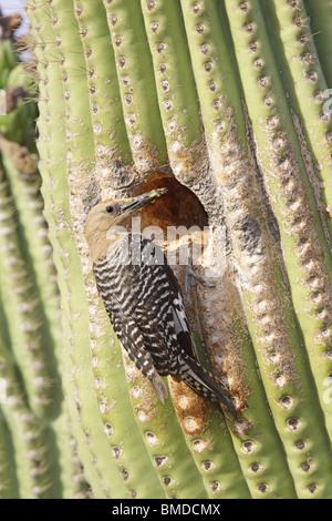 Gila WoodpeckerAdult Male at nest cavity in Saguaro cactus. - Stock Photo