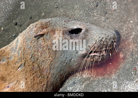 Portrait, immature Sea Lion 'yearling' deceased, beach. - Stock Photo