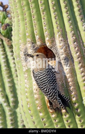 Gila WoodpeckerAdult Female at nest cavity in Saguaro cactus. - Stock Photo