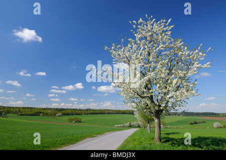 Blooming Cherry Trees along Path in Spring, Vielbrunn, Odenwald, Hesse, Germany
