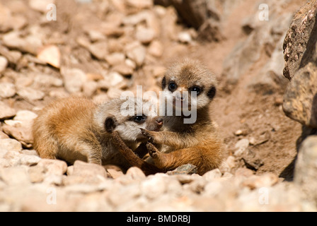 Meerkat (Suricata suricatta) pups Enjoying their first steps outside their burrow at Dudley Zoological Gardens - Stock Photo