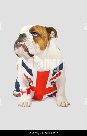 A British Bulldog wearing a Union Jack vest and English red cross flag wrist sweat band against a (224rgb) grey - Stock Photo
