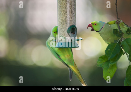 Wild Ring Necked Parakeets on nut feeder, London, England, UK - Stock Photo