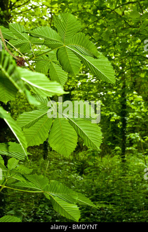 Fresh horse chestnut leaf in early spring - Stock Photo
