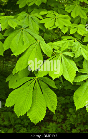 Young springtime leaves of the horse chestnut (Aesculus hippocastanum) - Stock Photo