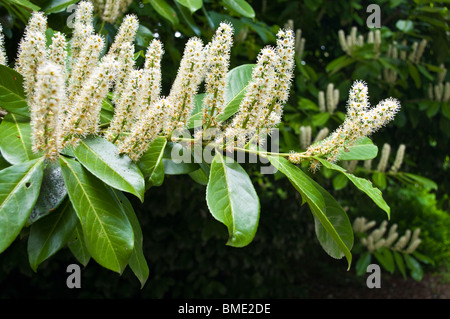 Flowers of the cherry laurel ( Prunus laurocerasus) - Stock Photo