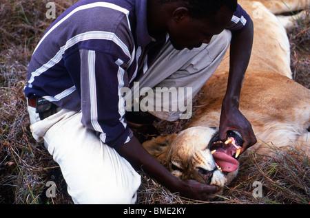 Researcher checks the teeth of an anaesthetised female lion (Panthera leo), Loisaba, Laikipia Plateau, Kenya - Stock Photo