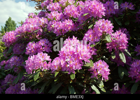 Purple rhododendron bush with flowers - Stock Photo