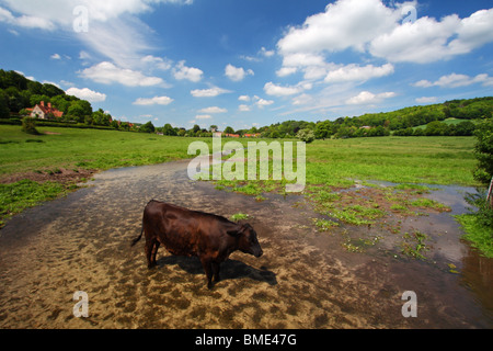 A single cow standing in the water of Hambleden Brook, a chalk stream flowing from Hambleden to Mill End in the - Stock Photo