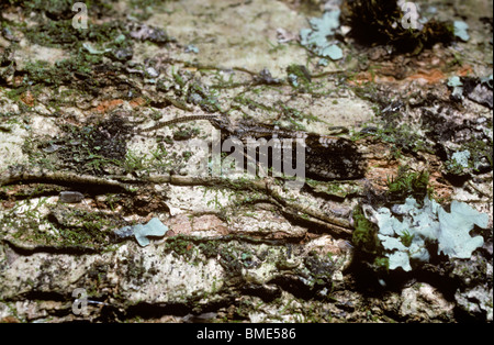 Caddisfly adult (Trichostegia minor: Phryganeidae) well camouflaged on an oak trunk on which it spent the whole - Stock Photo