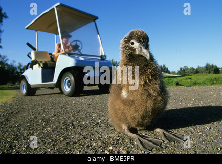 Hawaii, Midway Atoll, young Laysan Albatross in road, tourist avoiding in golf cart - Stock Photo