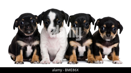 Group of mixed-breed puppies, 1 month old, in front of white background - Stock Photo