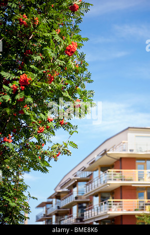 Rowan tree near building - Stock Photo