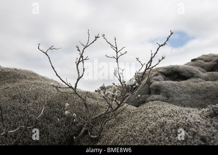 Bare tree among lava rocks - Stock Photo