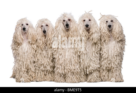 Five White Corded Standard Poodles sitting in front of white background - Stock Photo