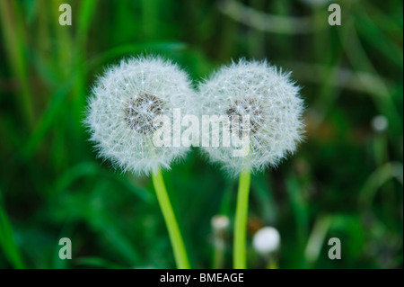 Faded dandelions, close-up, Sweden. - Stock Photo