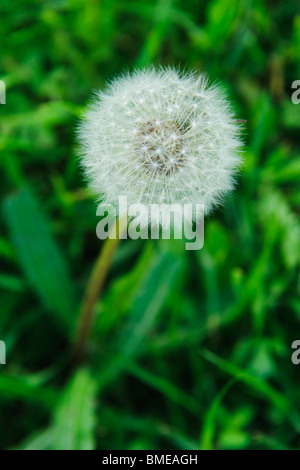 Faded dandelion, close-up, Sweden. - Stock Photo