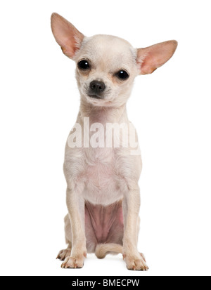 Chihuahua puppy, 7 months old, in front of white background - Stock Photo
