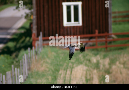 Hawk flying over field with house in background - Stock Photo