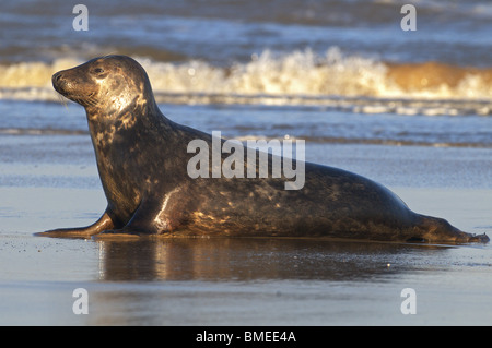 Atlantic Grey Seal Halichoerus Grypus  on sea shore At Breeding Colony Donna Nook Lincolnshire uk - Stock Photo
