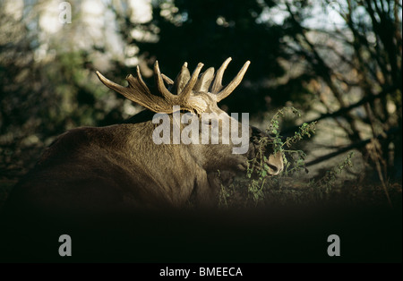 View of elk grazing, close-up - Stock Photo