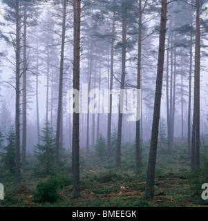 View of coniferous forest covered with fog - Stock Photo