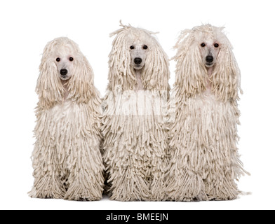 Three White Corded standard Poodles sitting in front of white background - Stock Photo