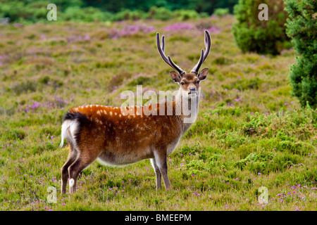 Single Sika stag at Arne reserve - Stock Photo