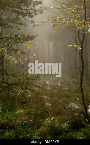 View of foggy coniferous forest - Stock Photo