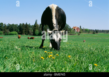 Cow grazing in field - Stock Photo