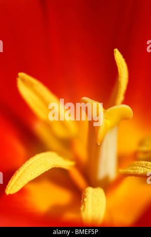 Scandinavia, Sweden, Gothenburg, View of yellow tulip, close-up - Stock Photo