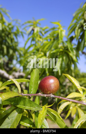nectarine peach tree growing in spring blue sky agriculture - Stock Photo