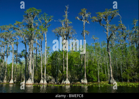 North America, USA, View of watercourse with bald cypress tress - Stock Photo