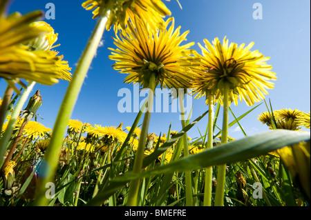 Scandinavia, Sweden, Halland, Dandelions against sky, low angle view - Stock Photo