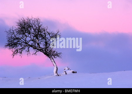Scandinavia, Sweden, Dalarna, View of birch tree on winter landscape - Stock Photo