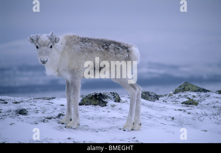 Scandinavia, Sweden, Dalarna, Animal in snow - Stock Photo