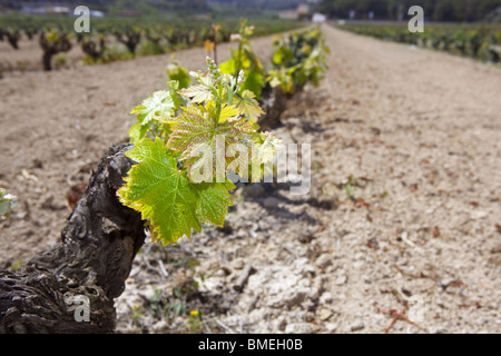 vineyard first spring sprouts in row field in Spain for wine production - Stock Photo