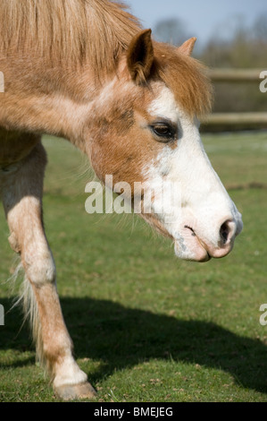 Strawberry roan new forest horse at an animal rescue centre. - Stock Photo