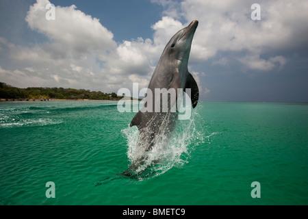 Bottlenose Dolphin, Honduras - Stock Photo