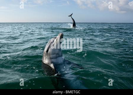 Bottlenose Dolphins, Honduras - Stock Photo