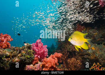 Golden damsel over coral reef with soft corals and sweepers in the background.  Andaman Sea, Thailand. - Stock Photo