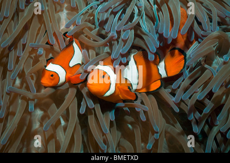 False clown anemonefish, larger female with male.  Papua New Guinea. - Stock Photo