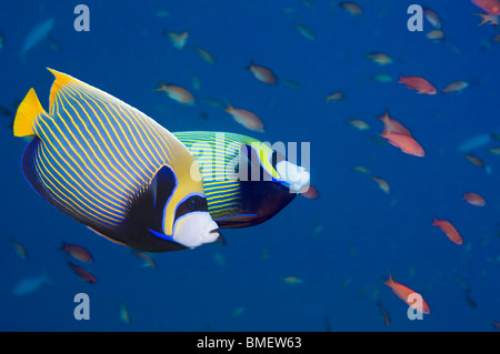Emperor angelfish.  Andaman Sea, Thailand.  Indo-Pacific. - Stock Photo