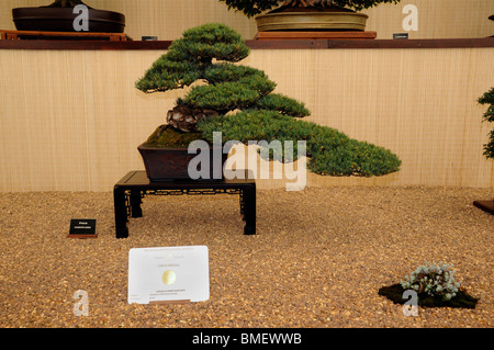 Annual Chelsea Flower Show - award winning Bonsai in The Great Pavilion, 2010 - Stock Photo