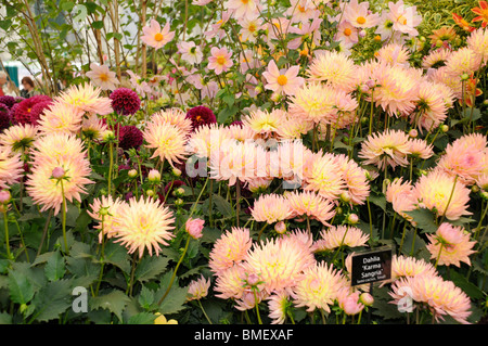 Annual Chelsea Flower Show - Award winning display of Dahlias in the Great Pavilion. - Stock Photo