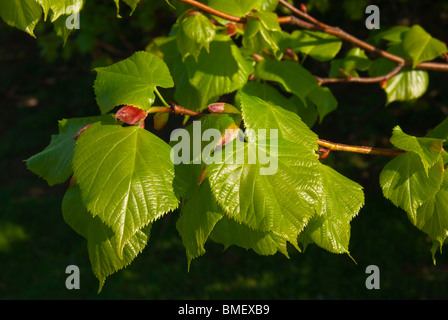 Leaves of Small leaved Lime tree - Stock Photo