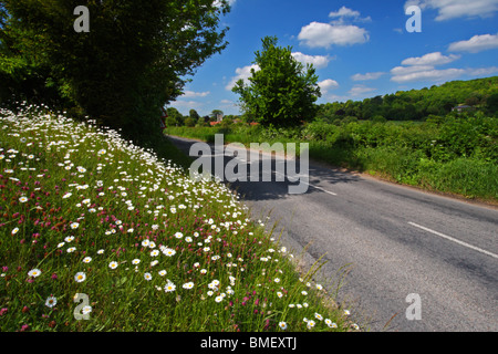 The road from Mill End to Hambleden lined with Oxeye daisies in Spring. Buckinghamshire, United Kingdom. - Stock Photo